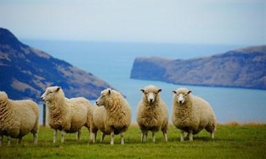 Чем так хороша новозеландская шерсть?